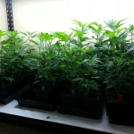 Room For Cannabis Clones