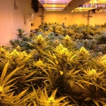Marijuana Grow Lights and Plants