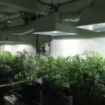 Cannabis Garden Veg Stage